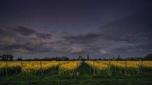 bordeaux vineyard sunset
